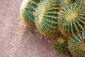 Cactus field - backgroun with copy space