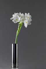 Symbol of spring.  Paperwhite flower (Narcissus Papyraceus),