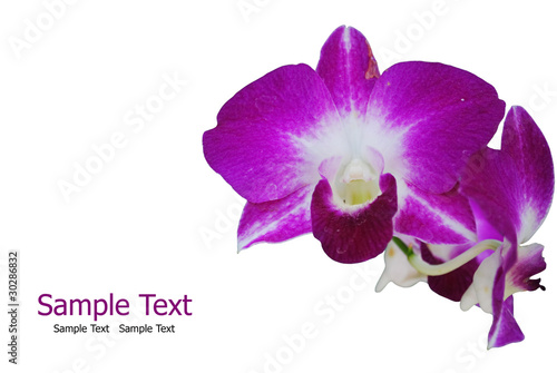 Purple orchid isolate on the white.