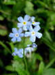 The blue flowers of forget-me (Myosotis) in the garden