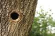 Bird nest in hollow trunk