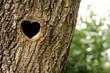 Heart-shaped bird nest in hollow trunk