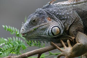 Black Iguana (Ctenosaura similis) - Roatan Honduras