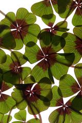 Vierblättrige Kleeblätter auf weißem Hintergrund