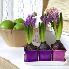 lilac hyacinth in interior of modern house