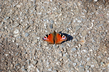 Colorful peacock butterfly sitting on road in summer day