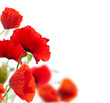 summer scene, red poppies isolated on white