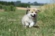 course pleine d'entrain du chiot wels corgi - puppy dog runs