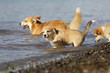 several welsh corgies playing in the water
