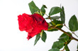 Red rose laying isolated on white