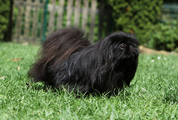 black pekingese dog