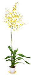 Yellow orchid flowers plant isolated on white