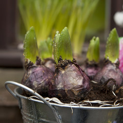 hyacinth flowerbulbs ready for planting in the flowerbed.