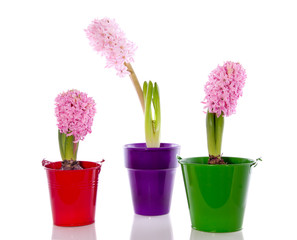 pink hyacinth flower bulbs in purple red and green pots isolated