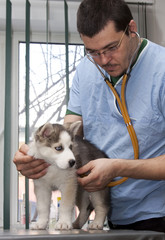 Husky puppy at vet having his heart rate taken