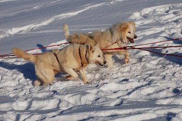 two siberian huskies