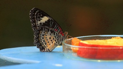 Butterfly IV Video Full HD