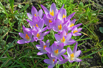 crocus group of flowers