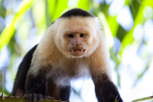 Poster Angry capuchin monkey