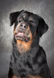 portrait of a purebred  rottweiler in studio. poster