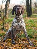 Fototapeta brązowy - psów - Zwierzę domowe