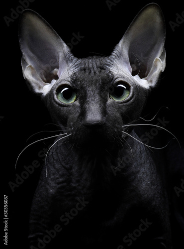 Young canadian sphynx cat looking at the camera on black backgro