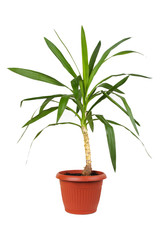 houseplant dracaena in brown flowerpot, isolated