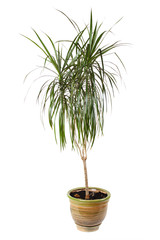 houseplant dracaena palm in brown flowerpot, isolated