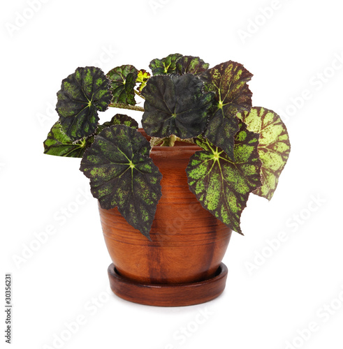houseplant begonia in brown clay flowerpot, isolated