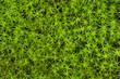 Close-up of princess pine groundcover