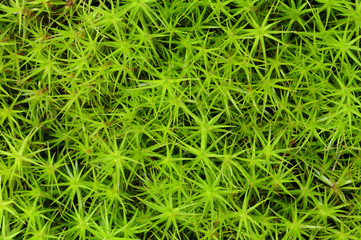Close-up of princess pine groundcover