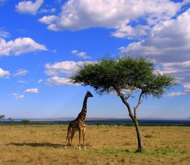 Giraffe, national park in Kenia