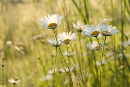 Daisies in a meadow backlit by the morning sun