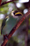 green tropical bird with yellow/balck beak from Belize zoo poster