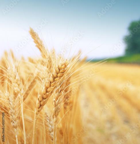 Grain field - 30377438