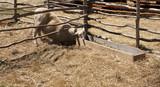 Sheep stealing grass poster