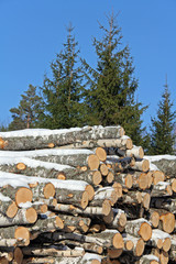 Birch Logs and Spruce Trees