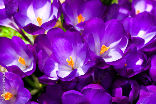 Staande foto Krokussen Purple crocus in spring sunshine