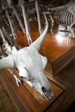 musée museum os squelette crâne dinosaure paléonthologie poster