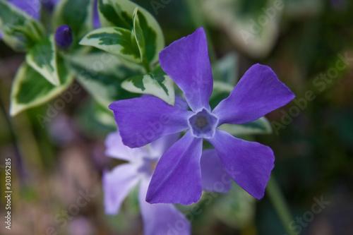 flower(vinca)_001