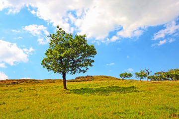 Lonely tree in Summer