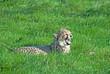 Cheetah (A. Jubatus) cub yawns