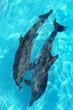 Leinwandbild Motiv dolphins couple top high angle view turquoise water
