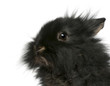Close-up of young Lionhead rabbit, 2 months old
