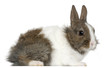 Young Lionhead rabbit, 2 months old
