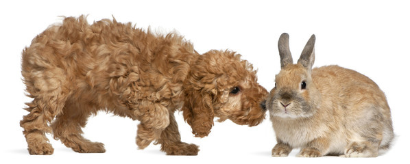 Poodle puppy, 2 months old, sniffing rabbit