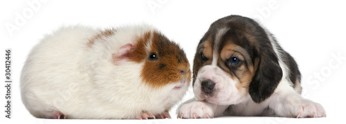 Beagle Puppy, 1 month old, and Teddy guinea pig