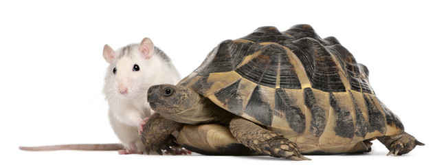 Rat and Hermann's tortoise, Testudo hermanni