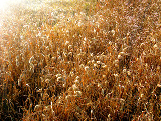 dry tall grass in evening sunlight