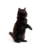Fuzzy black kitten poster